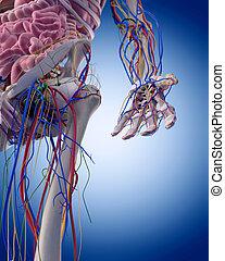 anatomia, braccio