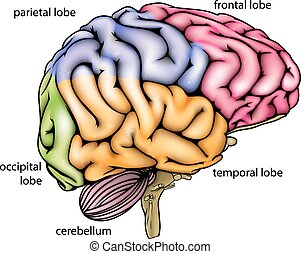 anatomia, cérebro, diagrama