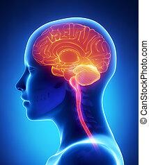 anatomia, cérebro, femininas, raio x