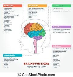 anatomia, cérebro, funções, human
