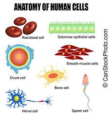 anatomia, cellule, umano