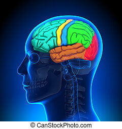 anatomia, cervello, -, colorare