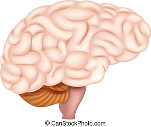 anatomia, cervello, umano