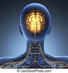 anatomia, ciência, raio x, cérebro humano