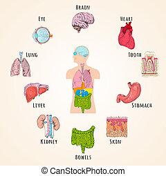 anatomia, conceito, human