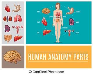 anatomia, conceito, partes, human, caricatura