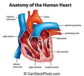 anatomia, coração, human