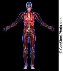 anatomia, corpo, umano