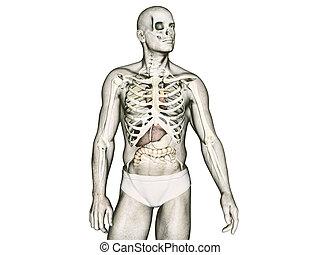 anatomia, corpo umano