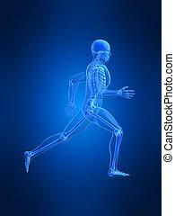 anatomia, correndo, uomo
