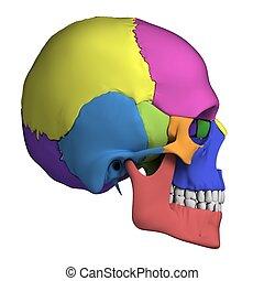 anatomia, cranio umano