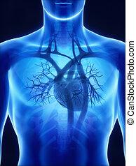 anatomia, cuore, raggi x