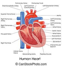 anatomia, cuore, umano