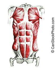 anatomia, de, músculos abdominais