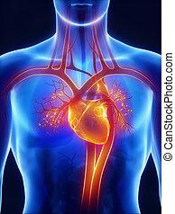 anatomia, de, sistema circulatório