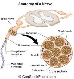 anatomia, de, um, nervo