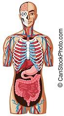 anatomia, differente, sistemi, umano