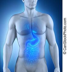 anatomia, digestivo, organo