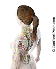 anatomia, fêmeas