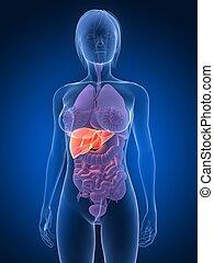 anatomia, -, fegato, femmina