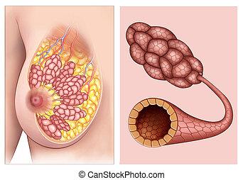 anatomia, fisiologia, seni, donne