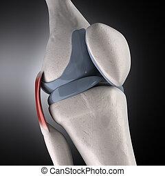 anatomia, ginocchio, umano