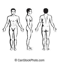anatomia, homem, corporal