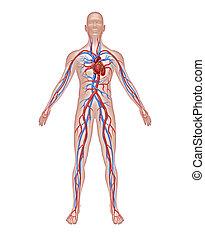 anatomia, human, circulação