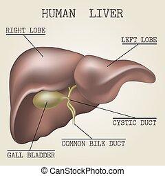 anatomia, human, fígado, ilustração