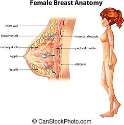 anatomia, human, femininas, peito