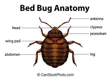 anatomia, insetto, letto
