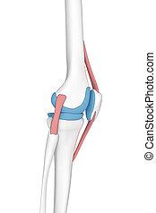 anatomia, joelho, lateral, caricatura, vista