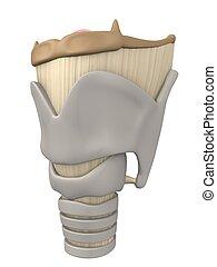 anatomia, laringe