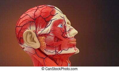 anatomia, -, ludzki, hd