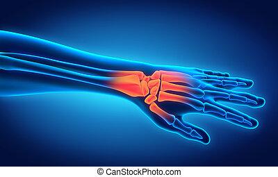 anatomia, ludzki, ilustracja, ręka