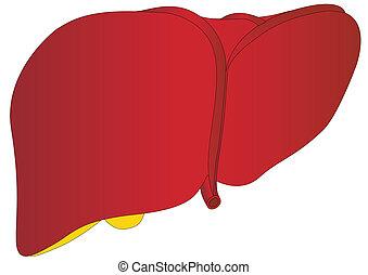 anatomia, médico, vetorial, fígado, human
