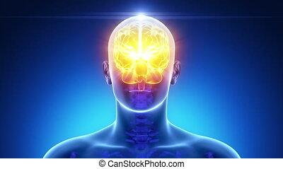 anatomia, mózg, medyczny, samiec, skandować