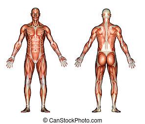 anatomia, músculos