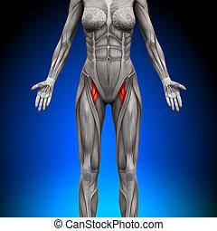 anatomia, músculos, -, coxas, femininas