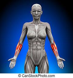 anatomia, músculos, -, femininas, forearms
