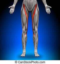 anatomia, músculos, -, femininas, sartorius