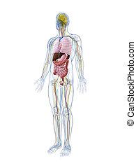 anatomia, macho