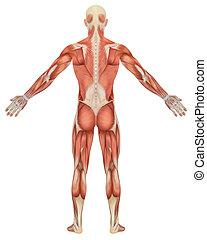 anatomia, macho, muscular, vista traseira