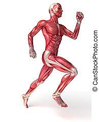 anatomia, machos, músculos