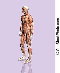 anatomia, man.