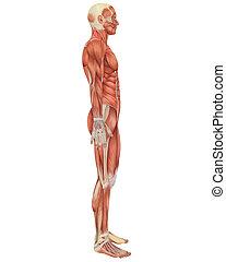 anatomia, maschio, lato, muscolare, vista