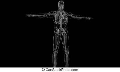 anatomia, medyczne pojęcie, ludzki, krążeniowy system, 3d, serce