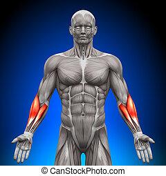 anatomia, mięśnie, -, forearms