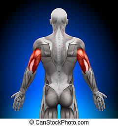 anatomia, mięśnie, -, mięsień trójgłowy