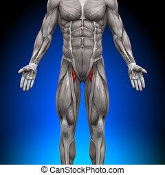 anatomia, mięśnie, -, uda
